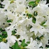 Azalea 'Palestrina' - Find Azleas,Camellias,Hydrangea and Rhododendrons at Loder Plants
